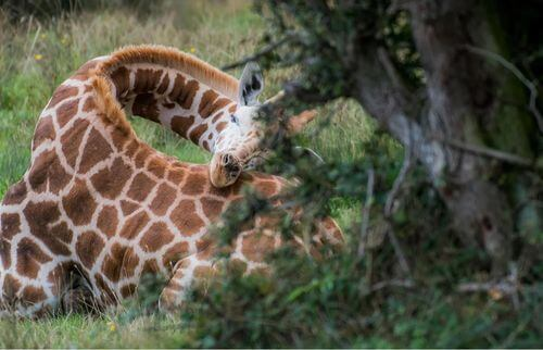 Giraffa che dorme con il collo ricurvo è tra gli animali che dormono di meno.