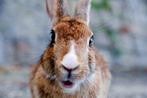 Gravidanza isterica nei conigli: cos'è?