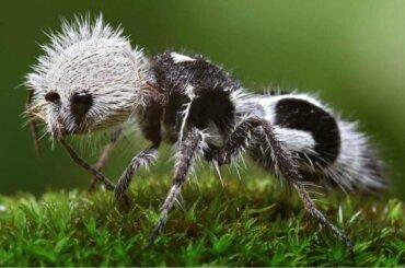 La formica panda: il potere fatto vespa?
