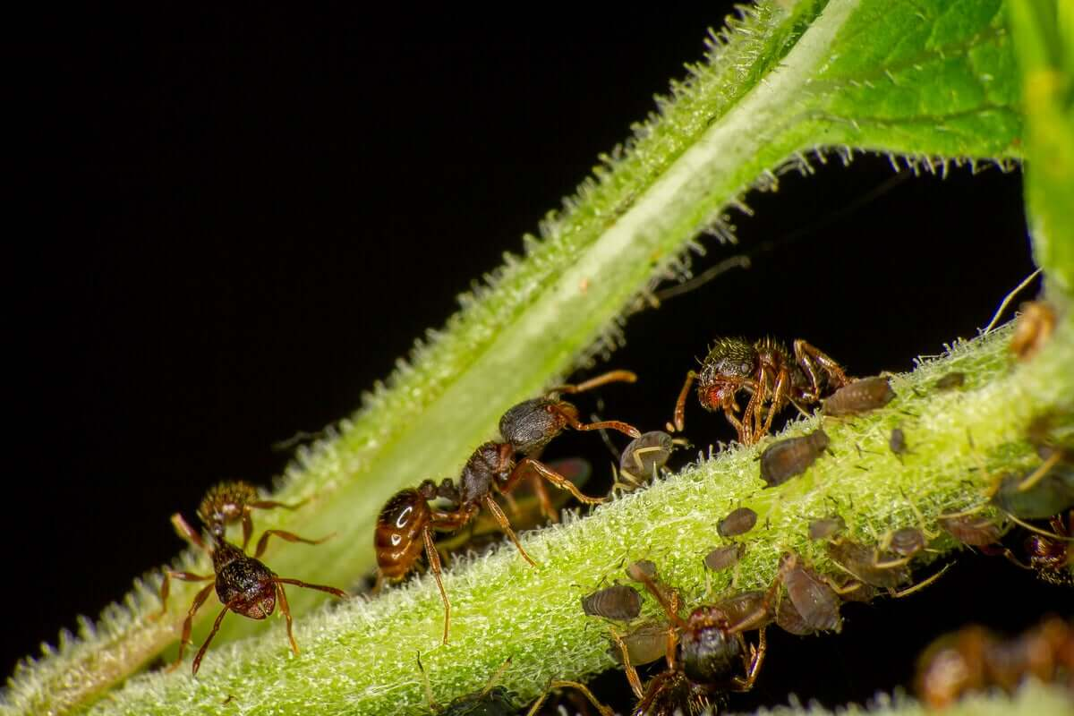 Formiche del genere Tetramorium.