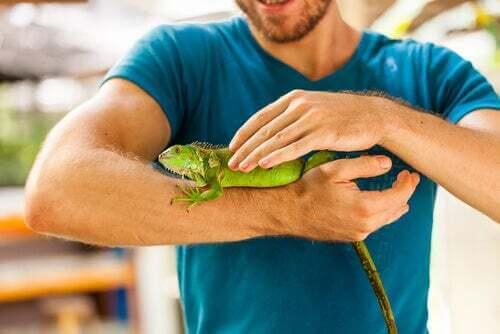 Uomo che tocca un'iguana.