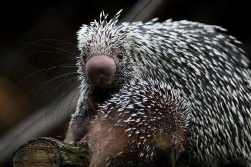 L'istrice arboricolo: bellissimo e in via di estinzione