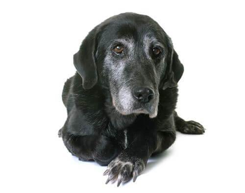 Labrador anziano e sfide della demenza senile nei cani.