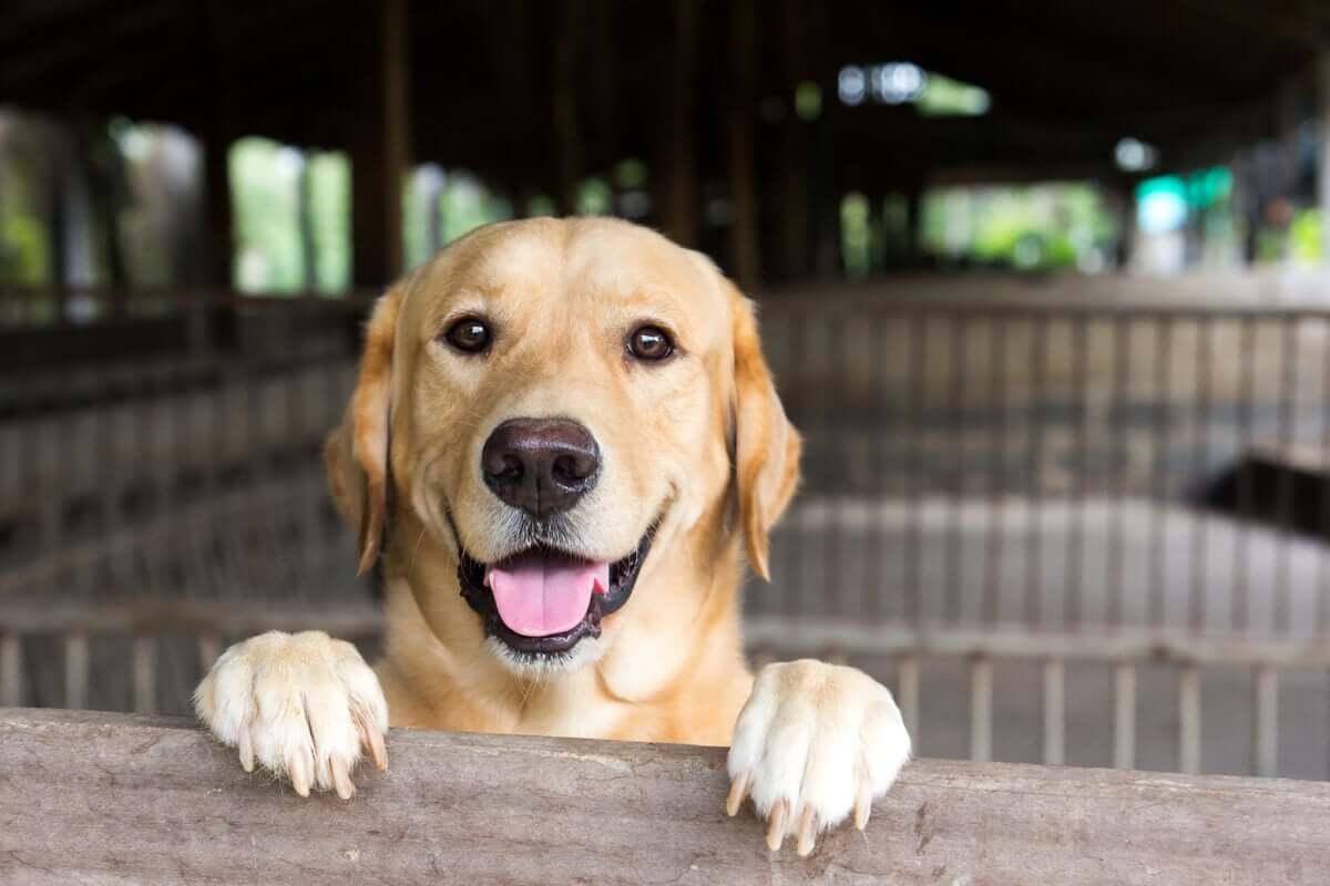 Labrador retriever felice.