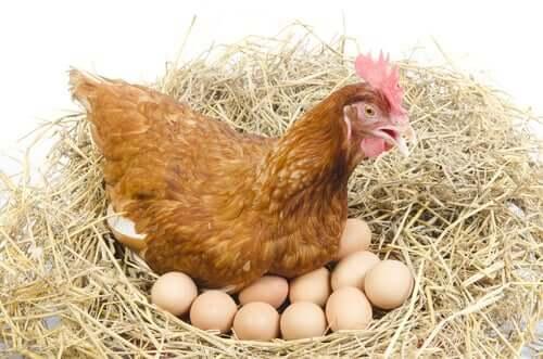 Le galline depongono le uova tutti i giorni.