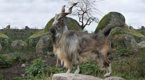 Il markhor: la capra dalle grandi corna