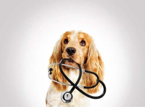 Cane con in bocca stetoscopio in attesa del veterinario.