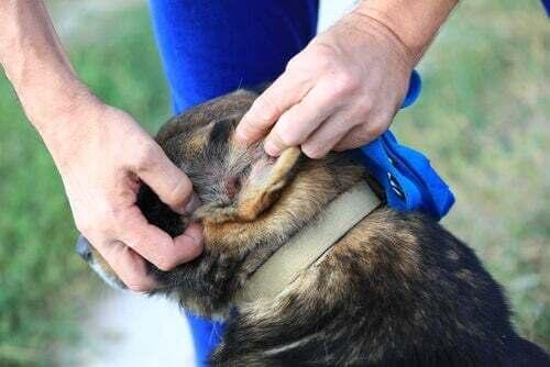 Padrone che controlla l'orecchio del cane.