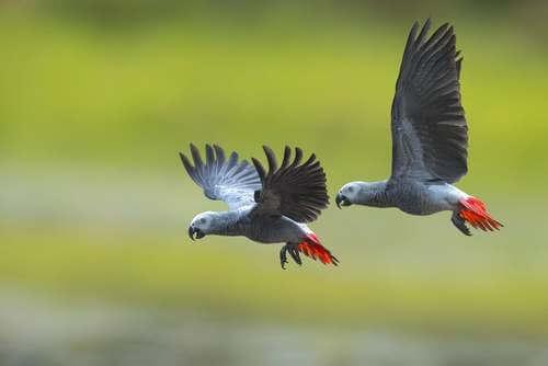 Una coppia di pappagalli grigi che volano.