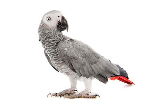 Un pappagallo grigio su sfondo bianco.