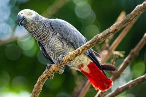 Il pappagallo cenerino, una specie minacciata