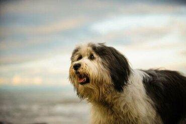 Cane da pastore di Vallée: caratteristiche e curiosità