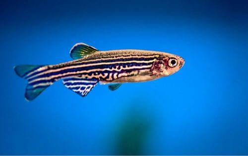 Pesce zebra.