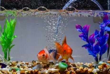 Pesci rossi in un acquario.