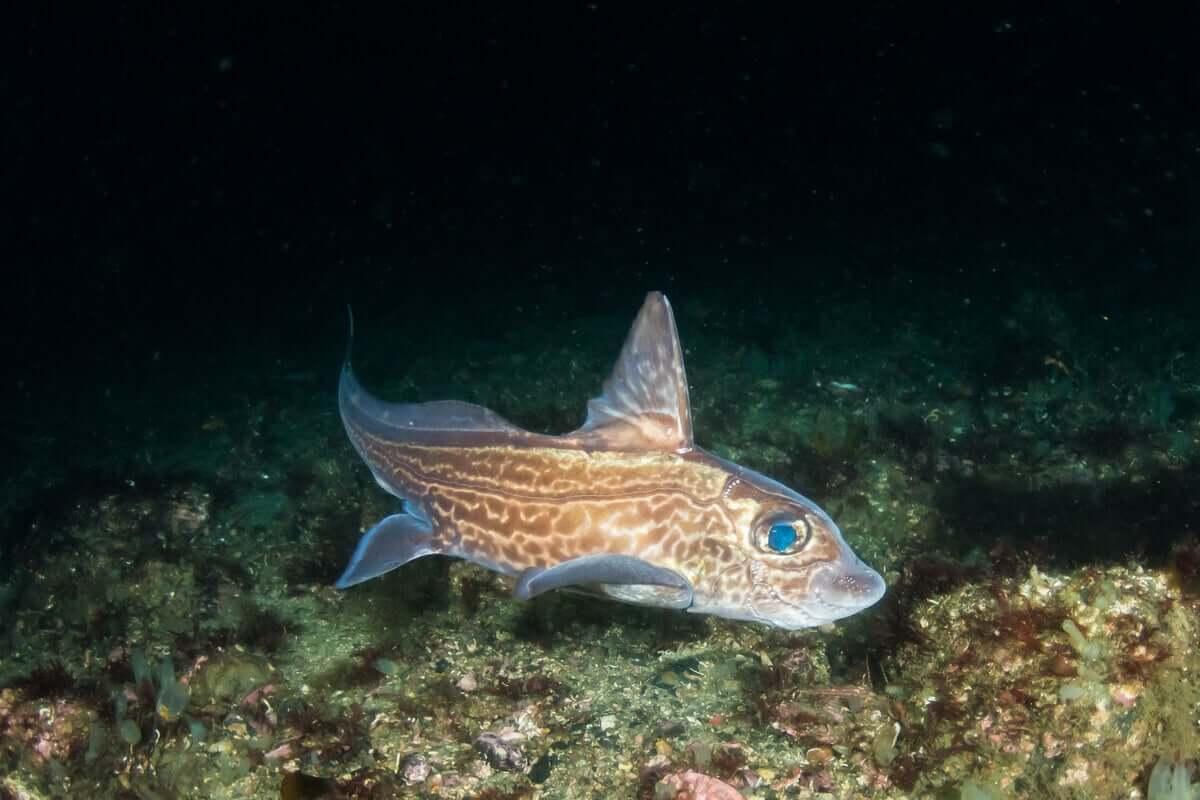Un pesce chimera nel fondale marino. Pesci senza scaglie.