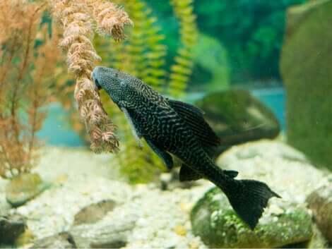 Pulitori naturali per il vostro acquario: il pleco.