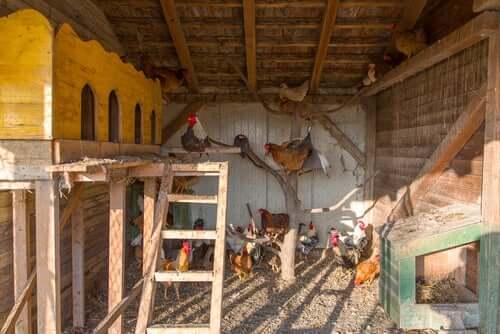 Prendersi cura delle galline nel pollaio.