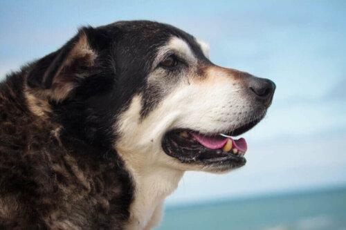 Quali sono le malattie che colpiscono i cani anziani?