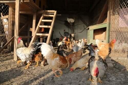 Come costruire un pollaio perfetto per le vostre galline