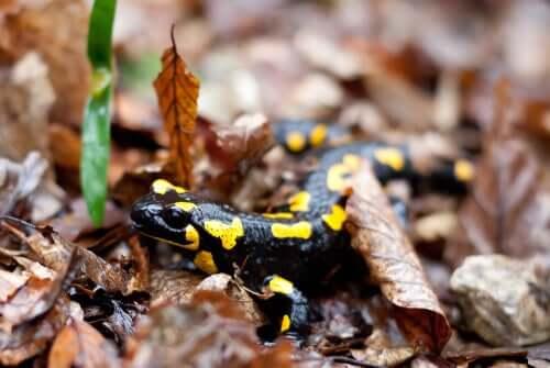 Salamandra tra le foglie.