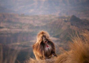 Le scimmie dal cuore sanguinante: i gelada