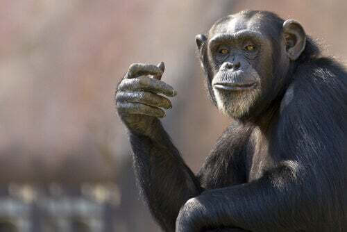 Scimmia scimpanzé.