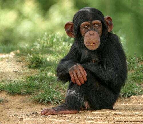 Scimpanzé cucciolo in un prato.