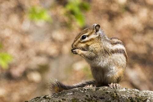 Malattie di cui può soffrire lo scoiattolo giapponese