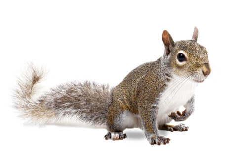 Uno scoiattolo su uno sfondo bianco.