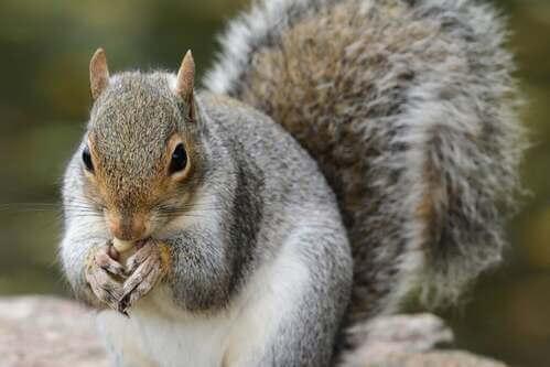 Il ruolo dello scoiattolo grigio nella rigenerazione delle foreste