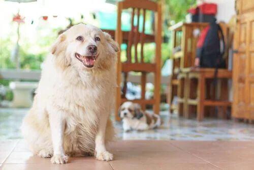 Sintomi ipotiroidismo nei cani. Cane bianco accucciato.