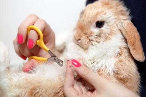 Tagliare le unghie al coniglio.