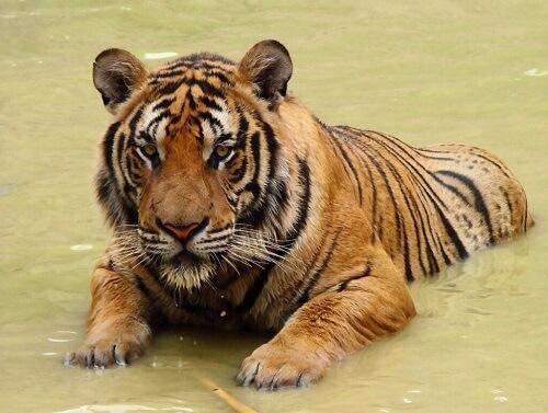 Tigre della Cina meridionale: un maestoso felino sull'orlo dell'estinzione