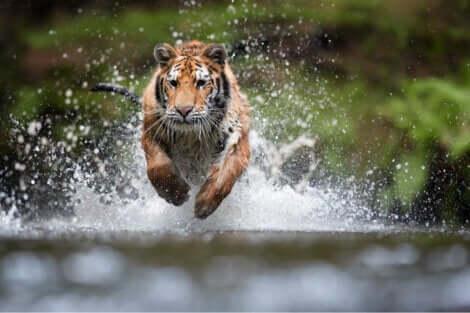 Tigre salvata da un centro di recupero per grandi felini.