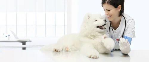 Trattamento dell'ipotiroidismo nei cani. Cane con veterinaria.