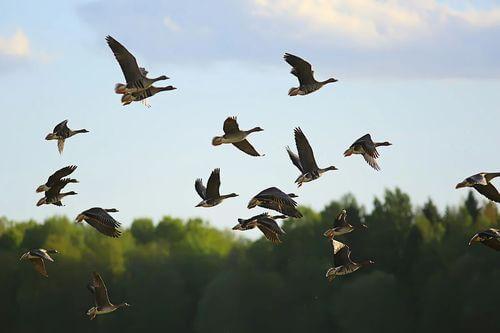 Uccelli migratori.
