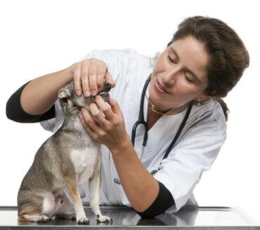 Trattamento dei disturbi dentali nel cane