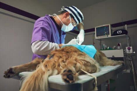 Chirurgo veterinario opera un cane.