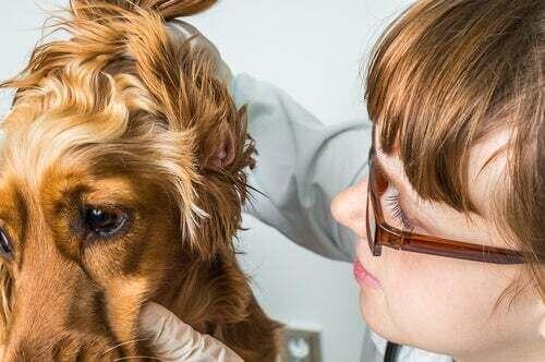 Otoematoma dell'orecchio nei cani e nei gatti