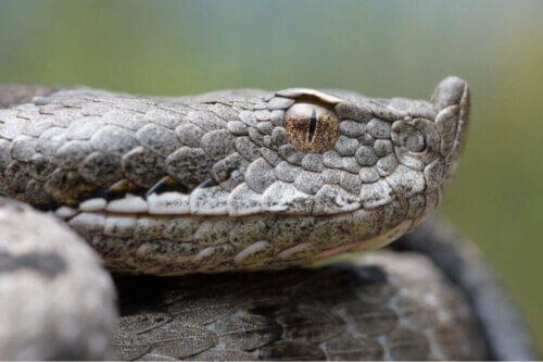 La Vipera latastei: un rettile che sopravvive ai miti