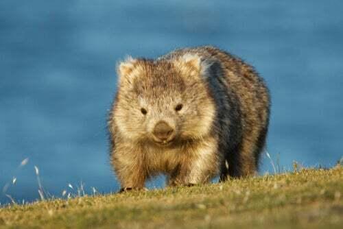 5 curiosità sui vombati, i più teneri marsupiali australiani