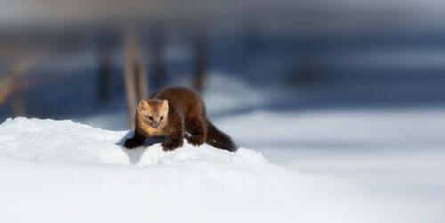 Zibellino sulla neve.