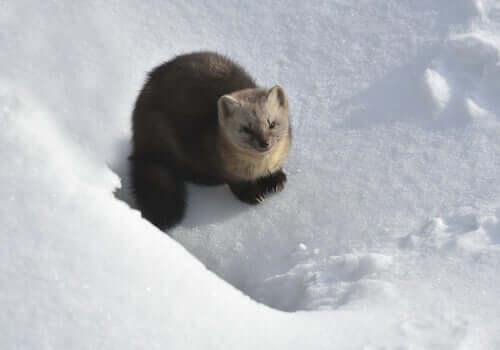 Zibellino: habitat del mammifero dalla morbida pelliccia