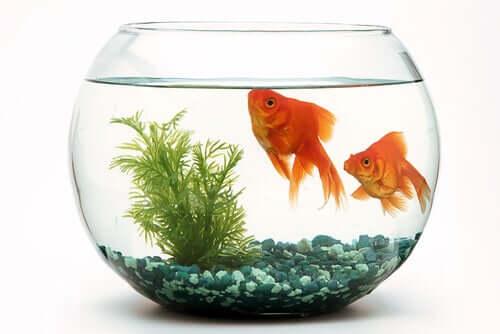 Come funziona la riproduzione in un acquario?