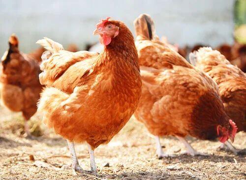 Allevare galline e rischio coccidiosi nei polli.