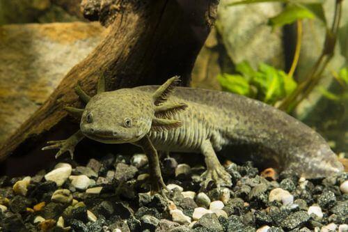 Assolotto o axolotl.