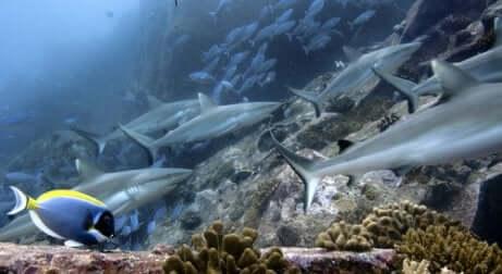 Banco di squali.
