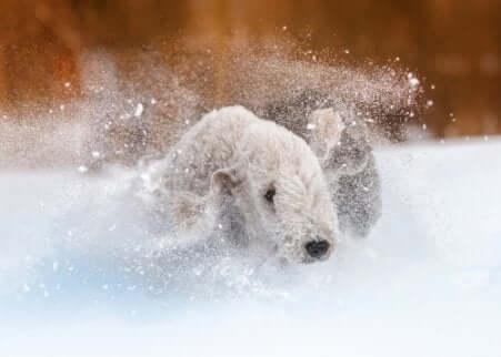 Cane che corre sulla neve.