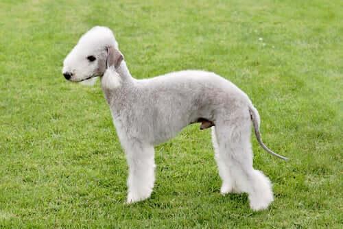 Bedlington terrier: caratteristiche e carattere