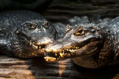 Il caimano nero: stato di conservazione e caratteristiche